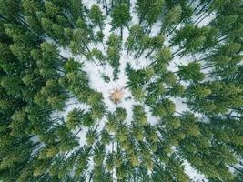 uma árvore solitária no inverno na floresta foto