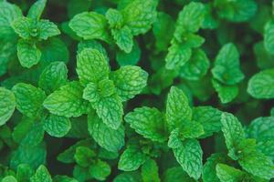 close-up de folhas de hortelã foto