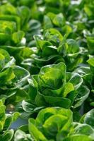 folhas de alface de manteiga fresca foto