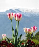 tulipas na frente das montanhas foto