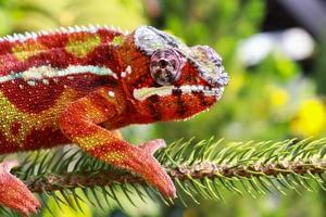 camaleão em um galho foto
