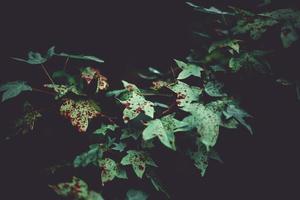 folhas de sweetgum no outono