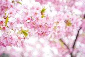 rosa sakura flor de cerejeira flor foto