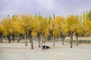 amarelo deixa árvores na temporada de outono foto