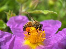 abelha polinizando flor roxa foto