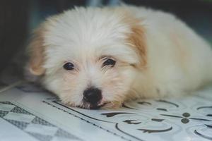 filhote de cachorro branco descansando foto