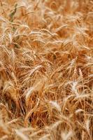 close-up do campo de trigo foto