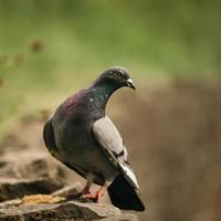 pombo curioso na rocha marrom foto
