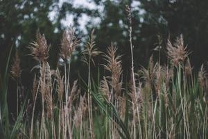 campo de trigo marrom foto