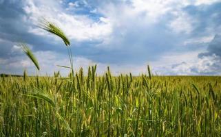 campo de trigo no verão foto