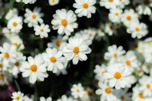 canteiro de flores brancas foto