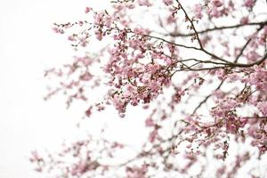 flores de cerejeira rosa no céu nublado foto