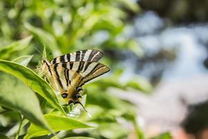 borboleta marrom e preta nas folhas foto