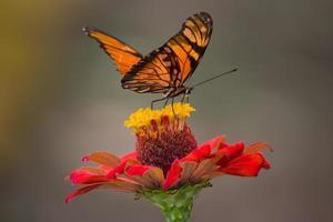 borboleta monarca em flor foto