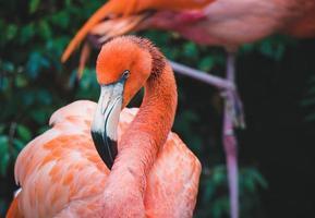 perfil lateral de flamingo rosa foto