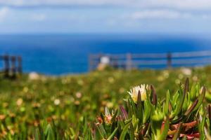 campo amarelo hottentot-fig contra o Oceano Atlântico foto
