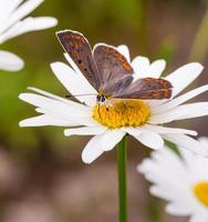 borboleta marrom e preta na flor branca