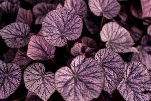 close-up de folhas roxas