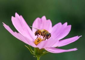 abelha na flor roxa foto