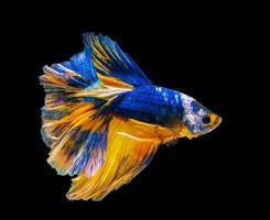 close-up de um peixe betta azul e laranja