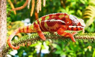 camaleão colorido em galho de árvore foto