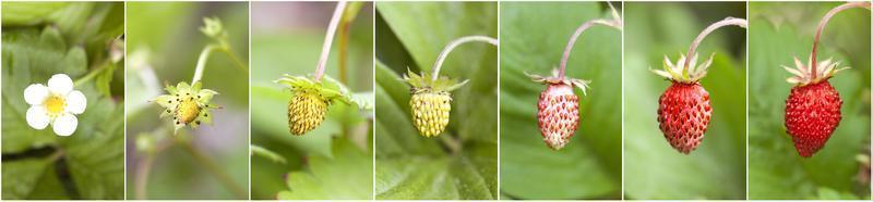 desenvolvimento de morango