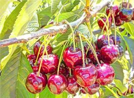 árvore com cerejas vermelhas maduras foto