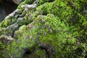 musgo verde