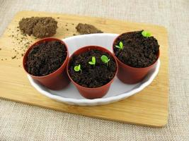 planta germinando em vaso de flores