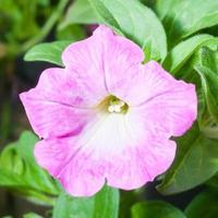 petúnia rosa foto