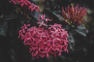 close-up de flores ixora vermelhas foto