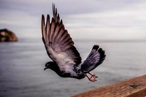 close-up de pombo voador