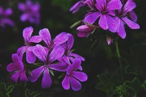 close-up de flores de pétalas roxas foto