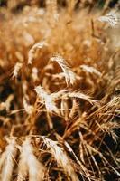 grama de trigo selvagem foto