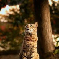 gato malhado olhando para cima