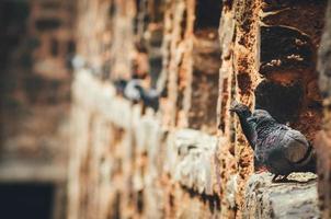 pombos cinzentos juntos