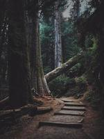 velhas árvores da floresta foto