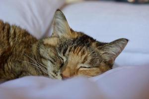 gato malhado marrom