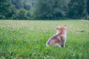 cachorro marrom no campo de grama verde
