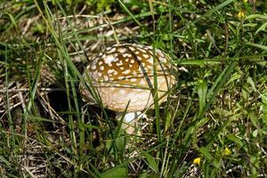 cogumelo na grama foto