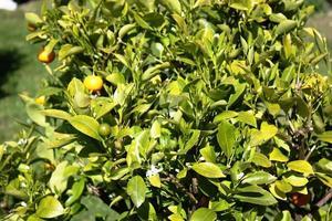 árvore kumquat com frutas e folhas no jardim