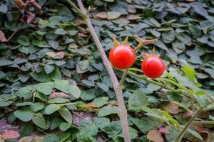 dois tomates cereja na árvore foto