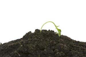 planta brotando jovem secando foto
