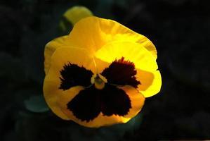 flor amarela tricolor viola em um fundo preto foto