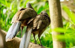 retrato de pássaros-guan-crista foto