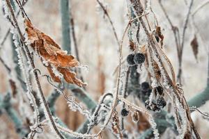 folhas e frutos cobertos com gelo foto