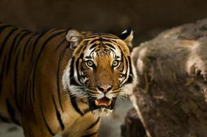 um tigre siberiano