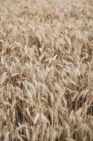 campo de trigo marrom