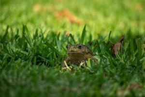 sapo na grama verde foto