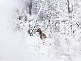 jovem veado na neve